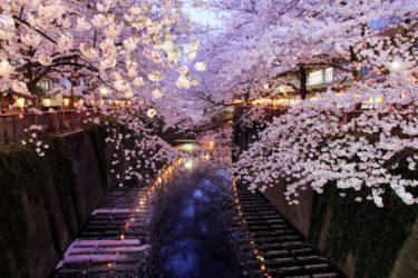 Hanami : plaine floraison des cerisiers nocturnes à Tokyo